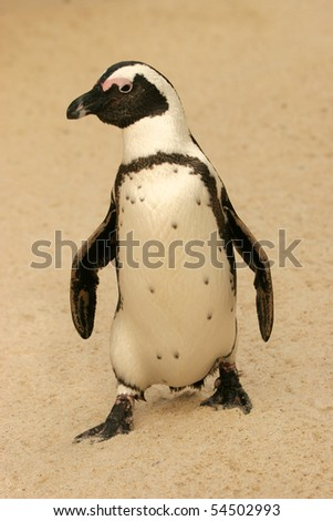 African Penguin, Spheniscus demersus - stock photo