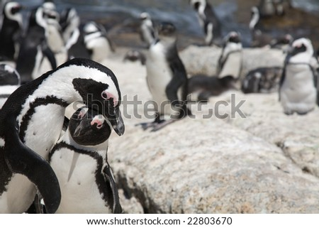 African Penguin (Spheniscus demersus), also known as the Black-footed Penguin or Jackass Penguin - stock photo