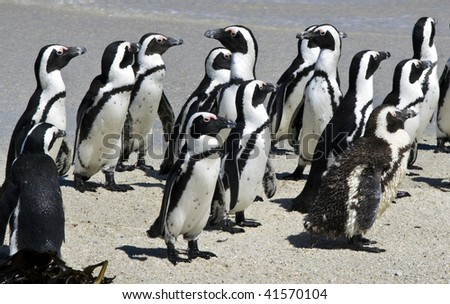 African Penguin Spheniscus demersus at Boulders Beach, Simonstown, Cape Town, Western Cape, South Africa - stock photo