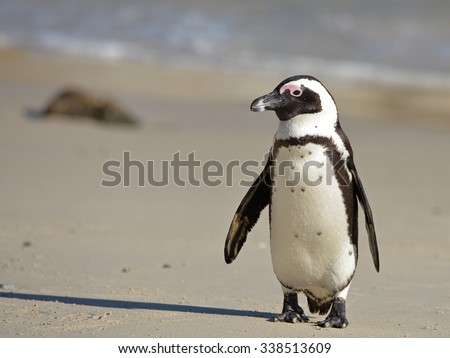 African penguin (Spheniscus demersus) on Boulders Beach near Cape Town, South Africa  - stock photo