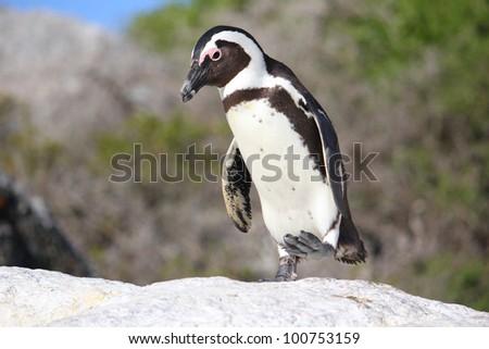 African Penguin walking over boulder - stock photo