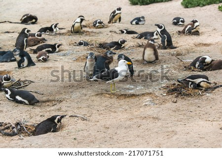 african penguins and an intruding seagull at Boulder Beach in Simon Town, South Africa - stock photo