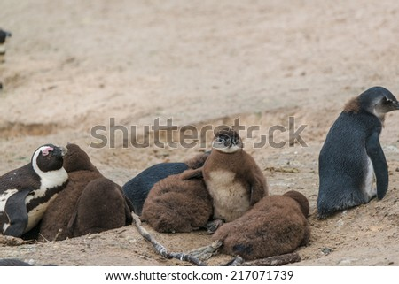 african penguins at Boulder Beach in Simon Town, South Africa - stock photo