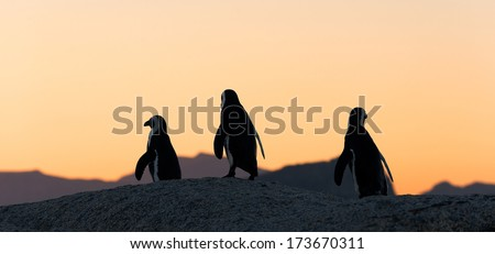 African penguins at sunset near Cape Town, South Africa. The African Penguin (Spheniscus demersus), also known as the Jackass Penguin and Black-footed Penguin   - stock photo