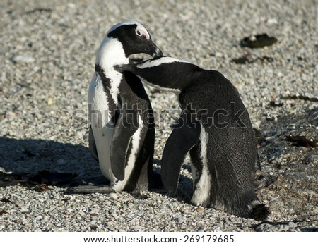 African Penguins grooming each other, Cape town, South Africa - stock photo