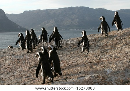 African penguins in South Africa - stock photo