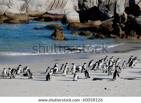 african penguins on the beach of Atlantic Ocean(South Africa) - stock photo