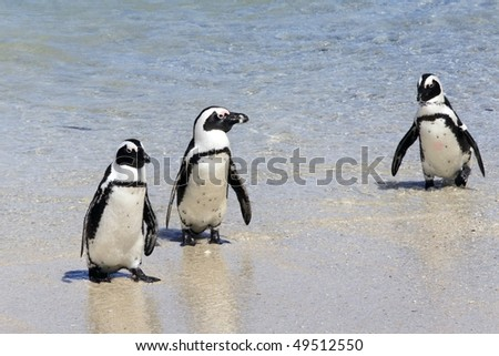 African penguins Spheniscus demersus at Boulders Beach, Simonstown, Cape Town, Western Cape, South Africa