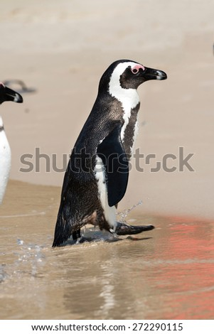 African Penguins (Spheniscus Demersus) at Boulders Beach (South Africa)