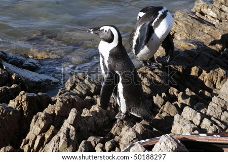 African penguins Spheniscus demersus at Stony Point, near Cape Town, Western Cape, South Africa