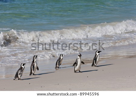 African penguins (spheniscus demersus) at the Boulders colony in Cape Town, South Africa. - stock photo
