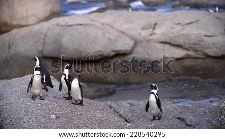 African penguins (spheniscus demersus) at the Boulders colony. In evening twilight. South Africa  - stock photo