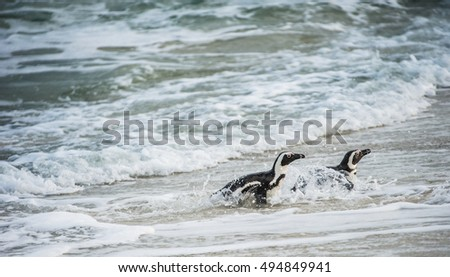 African penguins walk out of the ocean in the foam of the surf. African penguin ( Spheniscus demersus) also known as the jackass penguin and black-footed penguin. Boulders colony. South Africa