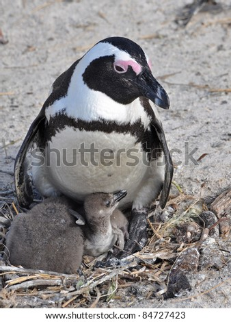 African penguins with its chicks - stock photo