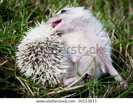 African pigmy hedgehog grooming itself on a grass - stock photo