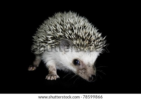 African pigmy hedgehog on black - stock photo