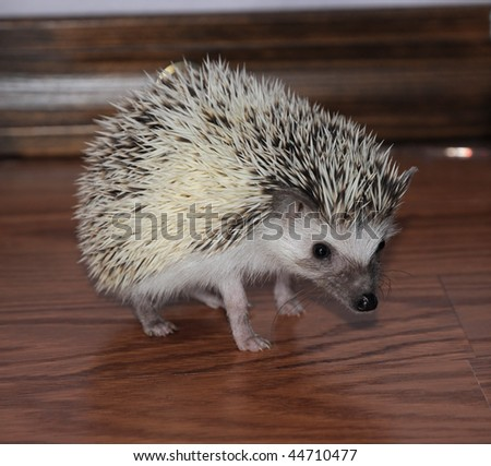 African pigmy hedgehog staying cautiously on a wooden floor - stock photo