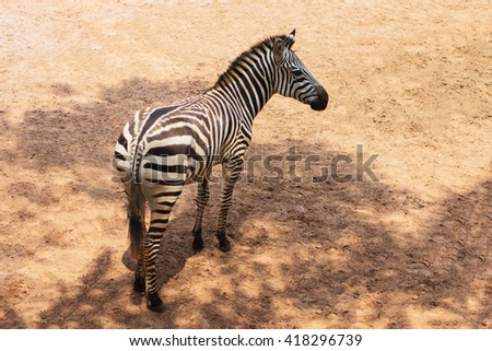 african plains zebra on the dry brown savannah grasslands browsing and grazing. focus is on the zebra with the background blurred, the animal is vigilant while it feeds - stock photo