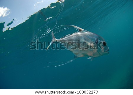 African Pompano (Alectis ciliaris) underwater