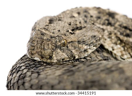 African puff adder - Bitis arietans in front of a white background - stock photo