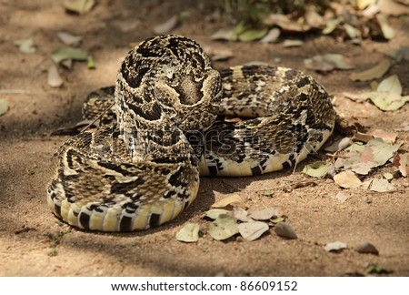 African Puff Adder Viper - stock photo