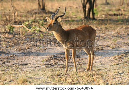 African Puku Antelope - stock photo