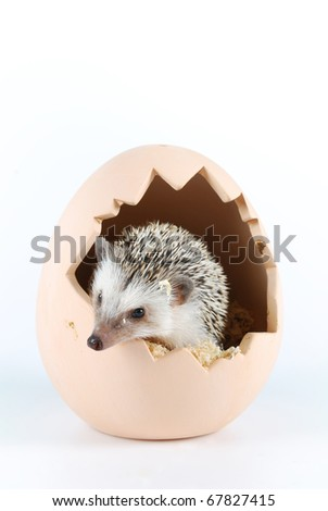 african pygmy hedgehog - stock photo