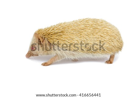 African pygmy Hedgehog, Adult the brown hedgehog has red eyes and selective focus at head of hedgehog on white background - stock photo