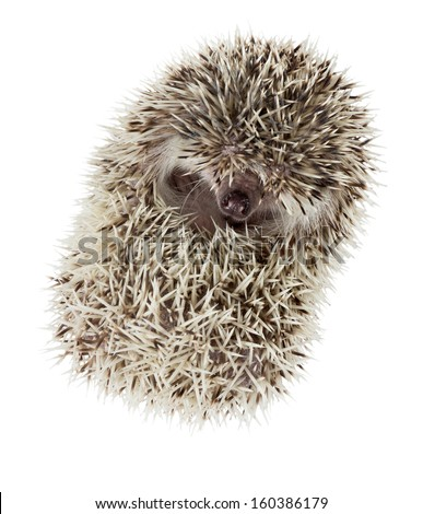 African pygmy hedgehog (Atelerix albiventris) curled up into a ball nose pokes - stock photo