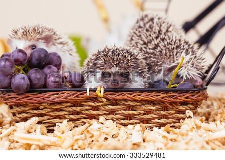 African pygmy hedgehog babies i a wooden basket. Selective focus on middle pygmy hedgehog. - stock photo