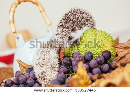 African pygmy hedgehog babies playing. Selective focus. - stock photo