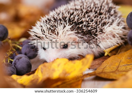 African pygmy hedgehog baby playing. Selective focus. - stock photo