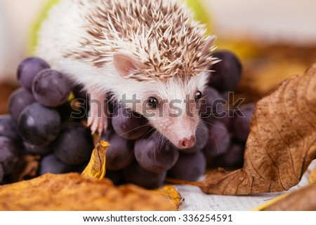 African pygmy hedgehog baby playing. Selective focus on hedgehog's head. - stock photo