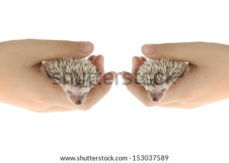 african pygmy hedgehog in hand - stock photo