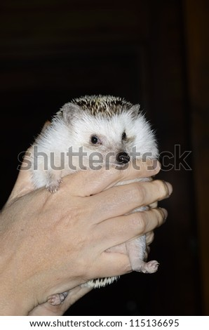 african pygmy hedgehog in hands - stock photo