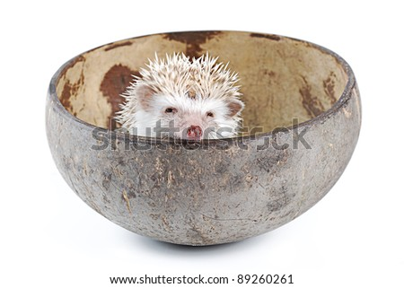 african pygmy hedgehog in inner coconut shell - stock photo