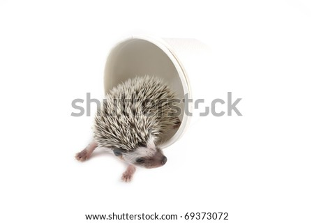 african pygmy hedgehog in white paper cup - stock photo