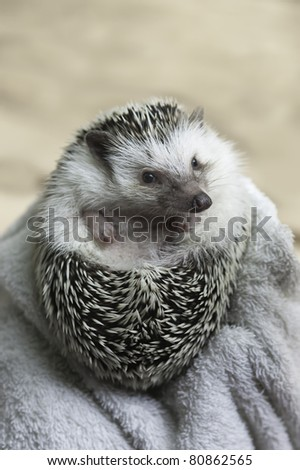 african pygmy hedgehog on defense mode - stock photo