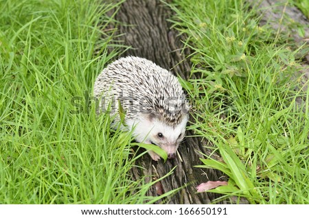 african pygmy hedgehog on grass - stock photo