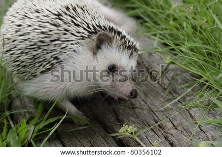 african pygmy hedgehog on log - stock photo