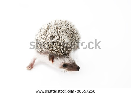 african pygmy hedgehog on white - stock photo