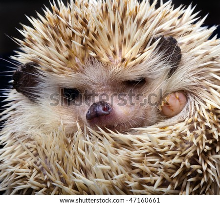 African pygmy hedgehog walking in dead leaves - stock photo