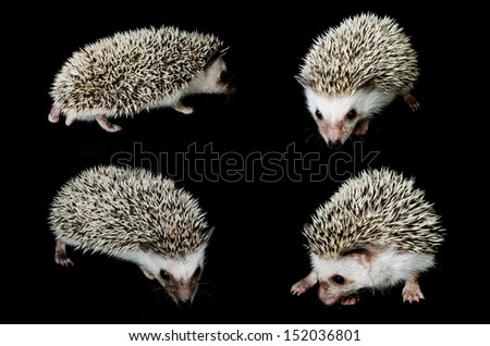 african pygmy hedgehogs - stock photo