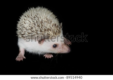 african pygmy hedghog - stock photo