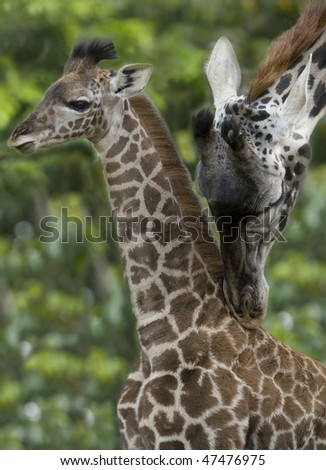 african reticulated giraffe male adult with female baby, zimbabwe, africa - stock photo