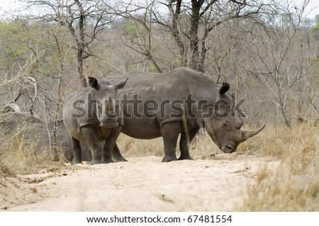 African Rhino with young - stock photo
