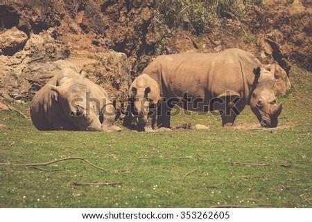 African rhinoceroses (Diceros bicornis minor) on the Masai Mara National Reserve safari in southwestern Kenya. - stock photo