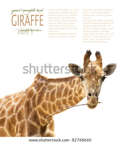 African Safari Close up shot of giraffe chewing a branch. - stock photo
