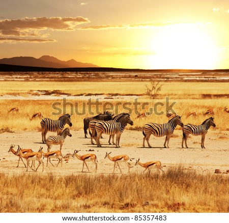 african safari in Etosha,Namibia - stock photo