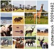 african safari in Etosha,Namibia collage - stock photo